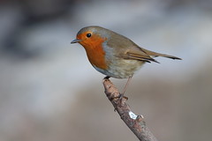 Robin (cooky1959) Tags: robin breancove somerset thrushes