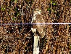 Sheltering from wind 17.1.19 (ericy202) Tags: common buzzard hedge post