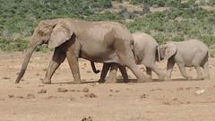 DSCN9681 (marcoschmidt.frankfurt) Tags: loxodontaafricana elephants