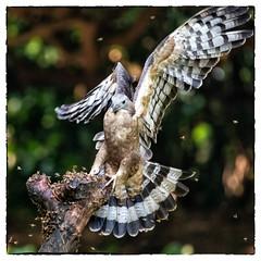Oriental Honey Buzzard (Ben-ah) Tags: orientalhoneybuzzard crestedhoneybuzzard buzzard honey feather bee eagle kite birdofprey plumage taiwan