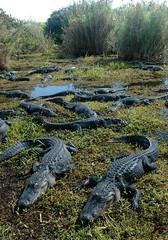Gator Refuge (rdodson76) Tags: americanalligators alligatormississippiensis gators reptiles animals wildlife nature habitat environment florida swamp many several large marsh outdoors herpetology evergladesnationalpark