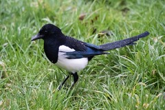 Elster im Regen / Magpie in the rain (reipa59) Tags: vögel vogel winter regen regentropfen star countryside nature nordpfalz animal rhinelandpalatinate wild elstern futter food magpie raindrop tier wasser regentag natur waterdrops wassertropfen germany raindrops ransweiler wiese futtersuche wintertag starling pfalz rain elster northpalatinate rheinlandpfalz tiere palatinate stare