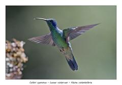 Lesser violet-ear (Jan H. Boer, Nature photographer) Tags: colibricyanotus lesservioletear kleinevioletkolibrie birds hummingbirds nature wildlife costarica sangerardodedota highlands nikon d500 afsnikkor200500f56eedvr jan´sphotostream2019