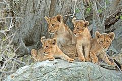 Lion cubs on the rocks (Rob Keulemans) Tags: 2018 krugernationalpark lioncubs rocks close