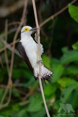 White Woodpecker (fascinationwildlife) Tags: animal wild wildlife forest djungle branch ast white woodpecker specht vo bird birding brasilien brazil mato grosse central south america südamerika pantanal