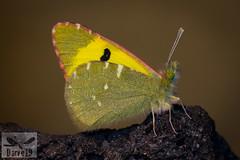 Greenish Black-Tip - Euchloe charlonia (Donzel, 1842) ( BlezSP) Tags: euchloe charlonia lanzarote fuerteventura islands canarias gran canaria pieridae bazae fauna lepidoptera mariposa butterfly