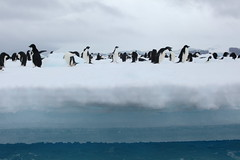 IMG_3746 (y.awanohara) Tags: adelie adeliepenguins penguins antarctica antarcticpeninsula wildlife january2019 icebergs ice icefloes