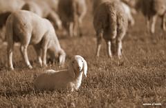 transumanza (miriamdovidio) Tags: gregge pecore transumanza mammiferi pastori bergamo agnello capre campagna sheep