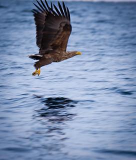 Àguila pescant / Fishing eagle
