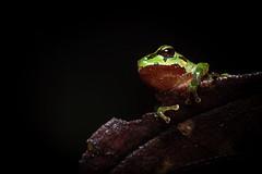 Pristimantis restrepoi (J. Sebastian Moreno) Tags: pristimantisrestrepoi pristimantis frog ranas rana vall valledelcauca
