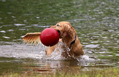 Got It (Diane Marshman) Tags: golden retriever large dog breed water lake goldstock wet pa pennsylvania nature action motion movement camp even 2018 big red jolly ball waterdrops drops splash