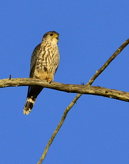 Merlin - Sweet Springs, Los Osos (aviac) Tags: sanluisobispocounty lososos morrobay estuary morrobayestuary california californiabirds merlin falcon sweetsprings perching