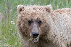_HB33104 (Hilary Bralove) Tags: lakeclarknationalparkbrownbearsbearsalaskanikonwildlifegrizzlygrizzlybearbrownbearanimalswildlifephotographer alaksa brownbears grizzlybears bear bears grizzly brownbeargrizzly bearlake clarkwildlifealaska wildlifenikonlake clark national park