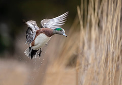 Widgeon Wings... (DTT67) Tags: duck waterfowl drake bird cambridge maryland canon 1dxmkii 500mm widgeon