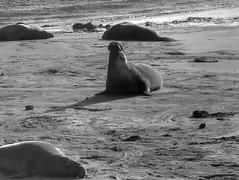 Northern Elephant Seal (fractalv) Tags: california pacificcoasthighway pacific ocean coast beach elephantseal bw