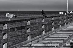 Different from the rest (michael_hamburg69) Tags: timmendorferstrand ostholstein germany deutschland ostsee balticsea seebrücke pier beach strand timmendorf lübeckerbucht februar 2019 ammeer kormoran möwe seagull bird seevogel