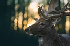 Dreamy Deer (Pascal Riemann) Tags: naturwildparkgranat abendstimmung deutschland stimmung gegenlicht hirsch tier säugetier reh natur münsterland animal germany mammal nature backlight eveningmood frontlighting mood