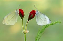 33. Lovers... (Zbyszek Walkiewicz) Tags: butterflies butterfly sony closeup
