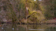 Tree of life (bdg-photography) Tags: trees tree water lake forest nature pond mossy moss ducks bird birds naturephotography natur