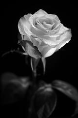 still-life 19-02-2019 007 (swissnature3) Tags: stilllife macro flowers light rose