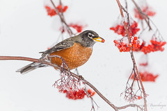 A Very Berry Merry Christmas to All (Turk Images) Tags: americanrobin perchingbird turdusmigratorius unusualwinterresident amro alberta birds edmonton turdidae urban winter