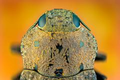 Wood-boring Beetle (zgrkrmblr) Tags: macro macrophotography bug focusstack sonya7 newport433 manfrotto410 manfrotto357 berlebachminitripod sunwayfoto arthropoda insect animal böcek makro fieldstack photomacrography sonya7camerabody entomology entomoloji 5xmitutoyomplanapona014infinitycorrectedlongwdobjective raynoxdcr150 nikonpb6bellows woodboringbeetle capnodistenebricosa fauna türkiye