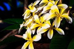 Frangipani bouquet (.Stephen..Brennan.) Tags: da70 flowers pentax pentaxk3 perth westernaustralia australia au 70mm