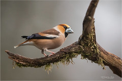 Hawfinch male (Gertj123) Tags: bird animal avian arjantroost netherlands nature hide holterberg tree spring canon