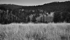 Prairie of Tall Grasses with a Hillside Backdrop (Black & White, Wind Cave National Park) (thor_mark ) Tags: azimuth214 blackhills capturenx2edited cloudy colorefexpro evergreentrees evergreens grassyarea grassyfield grassymeadow greatplains hillsideoftrees ideasigotfromothers landscape lookingsw meadows mountains mountainsindistance mountainsoffindistance nature nikond800e northamericaplains outside overcast overcastwithclouds pahásápa ponderosapines prairiegrass project365 rollinghillsides southernblackhills trees washunniya windcavenationalpark southdakota unitedstates