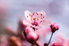 Cherry Blossom (Fotos aus OWL) Tags: blüte kirschblüte natur garten cherry blossom
