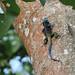 Blue-headed Tree Agama