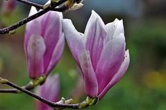 Beauty of the spring (wilma HW61) Tags: magnolia beverboom bloem blossom flower fleur flor flora floral floreale blume voorjaar lente spring primavera printemps frühling macro doff closeup natuur nature natur naturaleza nederland niederlande netherlands nikond90 holland holanda paysbas paesibassi paísesbajos europa europe outdoor wilmahw61 wilmawesterhoud