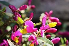 Flower (Hugo von Schreck) Tags: hugovonschreck flower blume blüte macro makro polygalachamabuxus canoneos5dsr tamron28300mmf3563divcpzda010