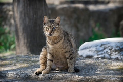 Cat at the Agora of Athina (Rudaki1959) Tags: cats 70200 eyes eye animal animalphotography greece griekenland greek athens travel walking watch earthnaturelife explore trip day urban outdoor a7m3 sonya7iii dagje