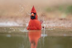 Northern Cardinal (tspine) Tags: northerncardinal santaclararanch texas