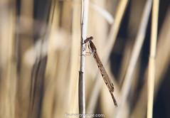 Leste brun (fauneetnature) Tags: lestebrun libellule odonate demoiselle insect insecte faune nature naturephotography photonature wildlife wildlifephotography proxy proxyphotographie proxyphotography