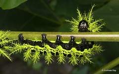 Saturniid caterpillars, Molippa flavodiosiana,  flavopiurica or simillima? Saturniidae (Ecuador Megadiverso) Tags: andreaskay caterpillar ecuador idbybartcoppens id543 molippaflavodiosiana molippaflavopiurica molippasimillima saturniidae spiny