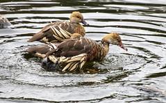 Plumed Whistling Duck (Greenstone Girl) Tags: people fffphotowalk australianwildlife birds trees fauna cages conservation plumed whistling duck dendrocygna eytoni splash healesville sanctuary