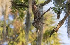 Barred owl (agnish.dey) Tags: bird birding birdwatching bokeh birdsofprey barredowl birdsinflight naturallight nature naturephotograph nikon naturethroughthelens florida coth animalplanet d500 wildlife wings trees