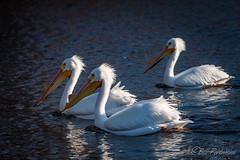 20190408-DSC_7408ext.jpg (GrandView Virtual, LLC - Bill Pohlmann) Tags: bird americanwhitepelican wisconsin wildlife waterfowl stcroixriver northhudsonwi