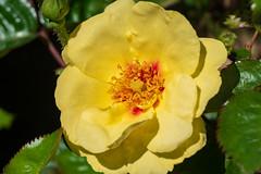 Isn't it eyeconic, don't you think (Marc Merlin) Tags: rose cartercenter flowers rosegarden spring atlanta georgia unitedstates