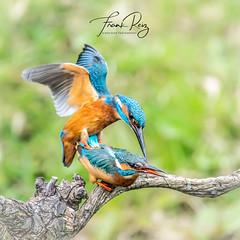 20190411-DSC_4692 (frankreiz) Tags: kingfisher kingfisherhouse ijsvogel frankreiz