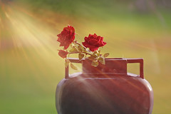 Sunbathing... (KissThePixel) Tags: light sunlight sunbeam rose redrose red vase pot flowers flower roses bokeh macro stilllife stilllifephotography creativephotography creativeart tabletop tabletopphotography nikon nikond750 window windowsill january sunshine