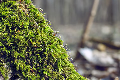 Moss (volodyainteres) Tags: branch tree place texture colorful forest vegetation scenery serenity magical huge natural giant up landscape moss warm ground bark old height peaceful outdoor spring fantasy leaf deep environment green nature root plant trunk wood foliage large mood perspective growth brown