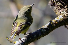 Ruby-Crowned_Kinglet_07 (DonBantumPhotography.com) Tags: wildlife nature birds animals rubycrownedkinglet donbantumphotographycom donbantumcom greenbird smallgreenbird