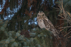 Hibou des marais - Short-eared Owl - Asio flammeus (Suzanne Houle) Tags: hiboudesmarais shortearedowl owl hibou