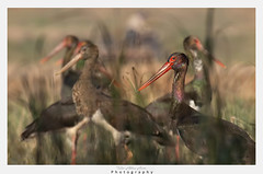 Black stork (T@hir'S Photography) Tags: ciconianigra blackstork caceres animalbodypart animalwing bird childbirth feather flying horizontal iberianpeninsula majestic motion nature nopeople oneanimal outdoors photography sky spain sunny tagusriver trujillospain vulture wildernessarea animal animalleg animalwildlife animalsinthewild beak blackcolor colors flower greencolor large long meadow plant poland red stork uncultivated fly outdoor migration
