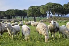 Herd of sheep nearby Appian Way (guidocasati) Tags: sheep grass trees tree appian way via appia roma rome nature fields sky