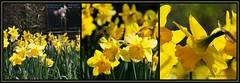 DAFFODIL || NARCISSEN (Anne-Miek Bibbe) Tags: canoneos70d annemiekbibbe bibbe nederland 2019 tuin garden jardin giardino jardim natuur nature narcissen daffodils narcissus maart || march mars marzo marçode voorjaar spring frühling primavera printemps lente