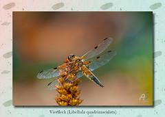 Vierfleck (Libellula quadrimaculata) (1 von 1) (aschnirch) Tags: insekte schmetterling libellen outdoor natur nature color canon